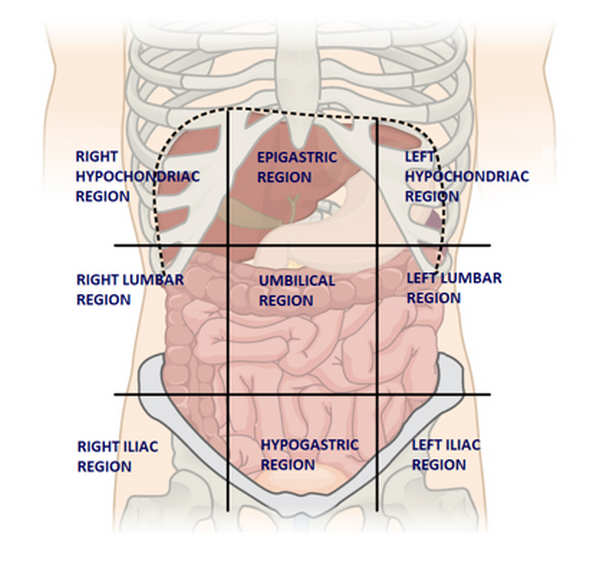 nine 9 Regions of Abdomen