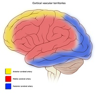 Cortical areas and their arterial blood supply