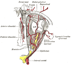 The ophthalmic artery and its branches.