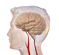 An illustration of the cerebrovascular system.